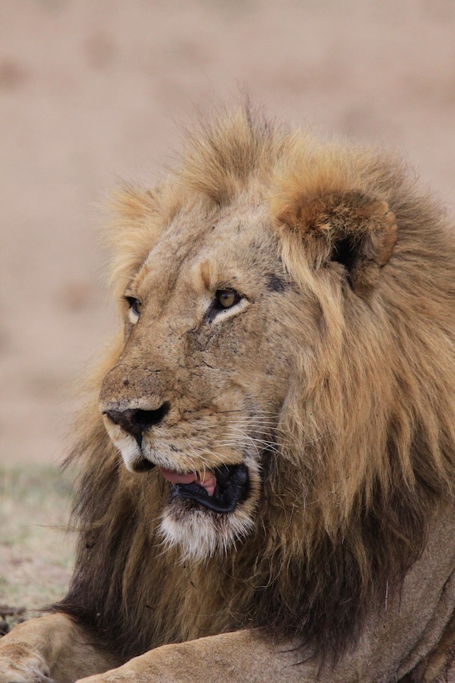aging of lions, international pressure threatens hunting industry, lions, dr kevin robertson
