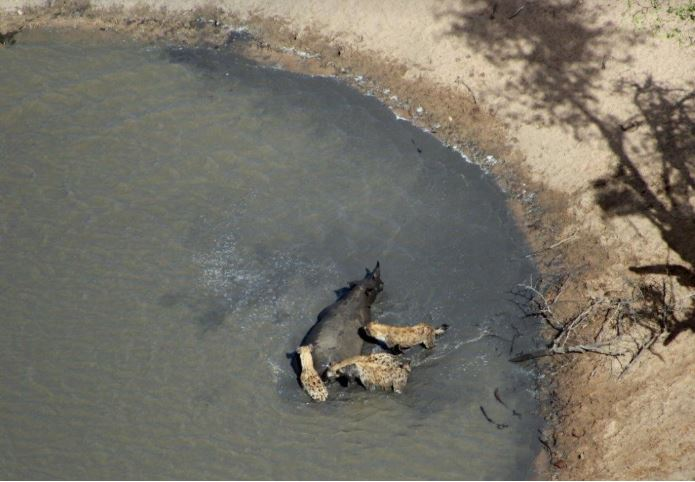 Hyenas attacking in the water