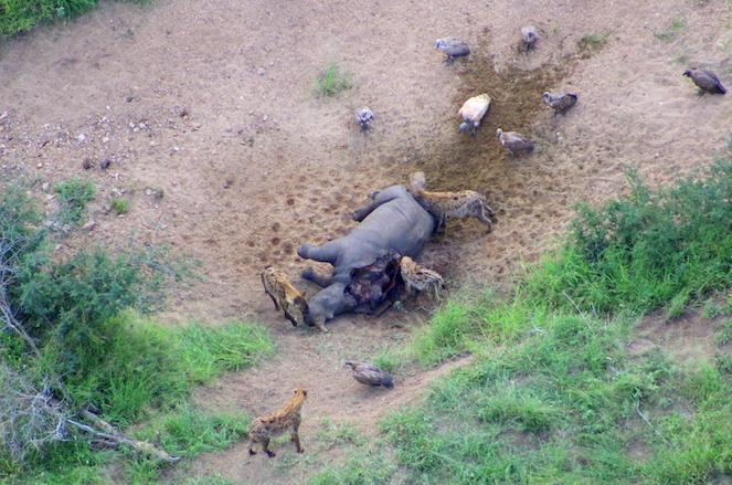 Rhino poaching statistic August 2018