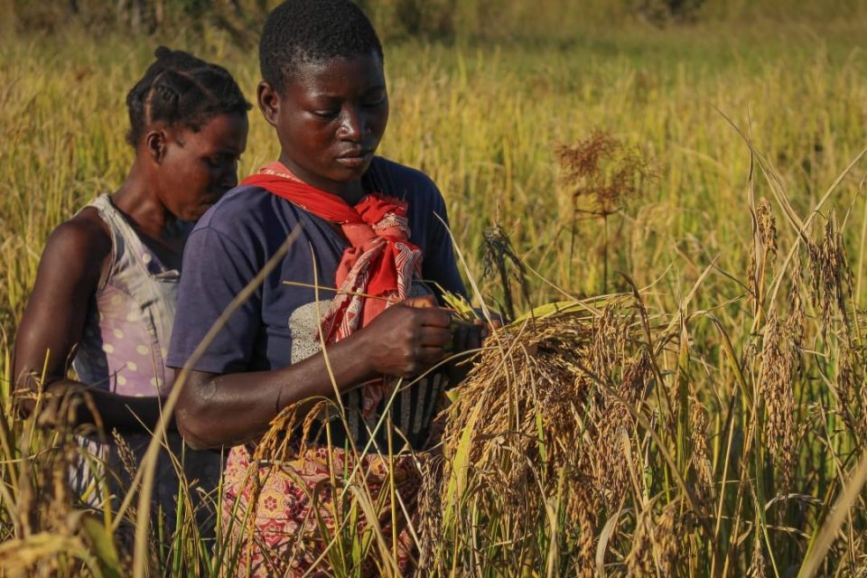 SAWC_Mozambique_Rice field at ZDS_Community harvesting rice